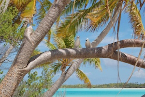 Tropical birds in palm tree Blue Lagoon-300x200