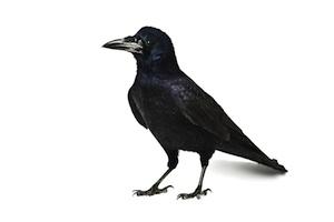 Black-crows-land-park.300x200