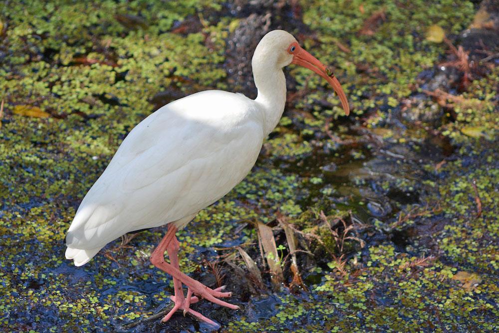 White ibis eating
