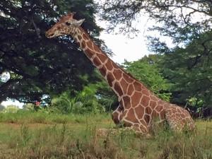 Giraffe at Honolulu Zoo